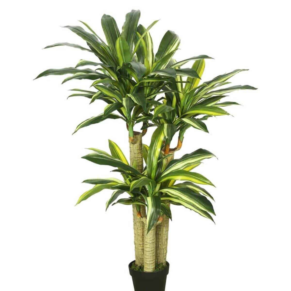 Dracaena in a black pot.