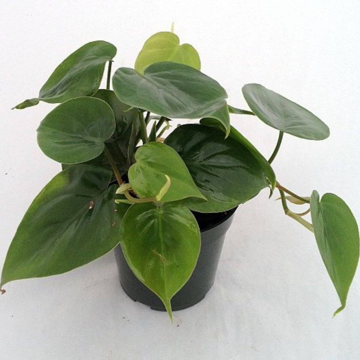 Philodendron plant in a black pot.