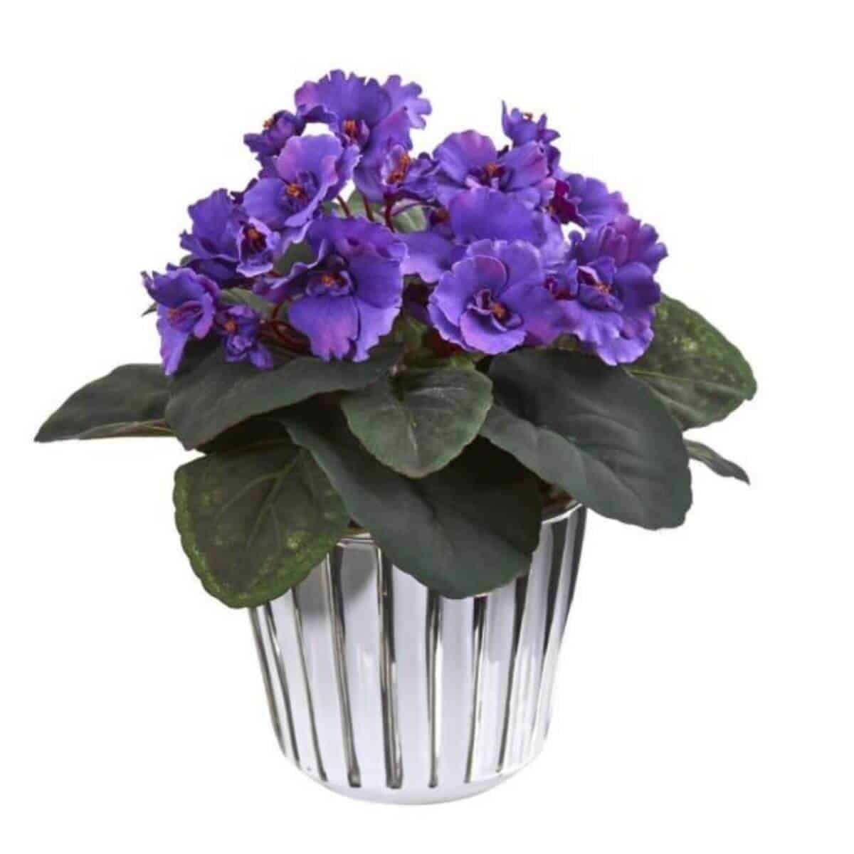 African violet in a pot.