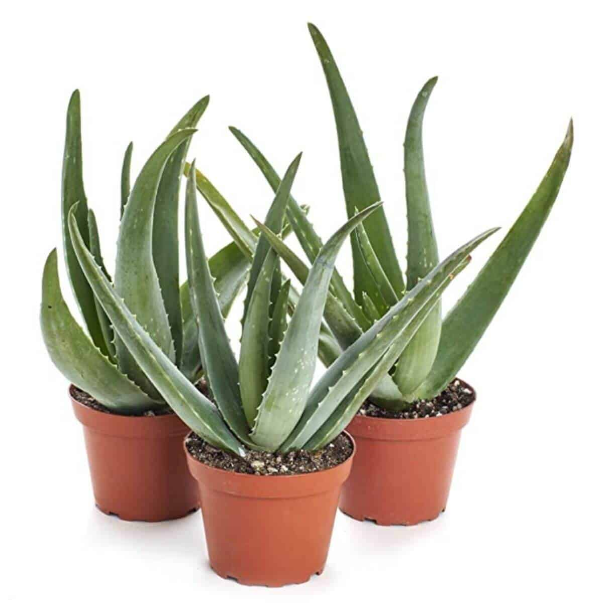 Three aloe vera plants in a pot.