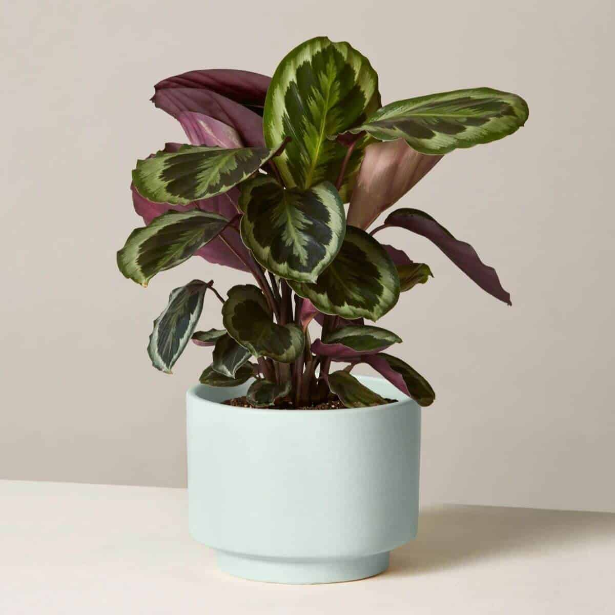 Calathea plant in a mint blue pot.