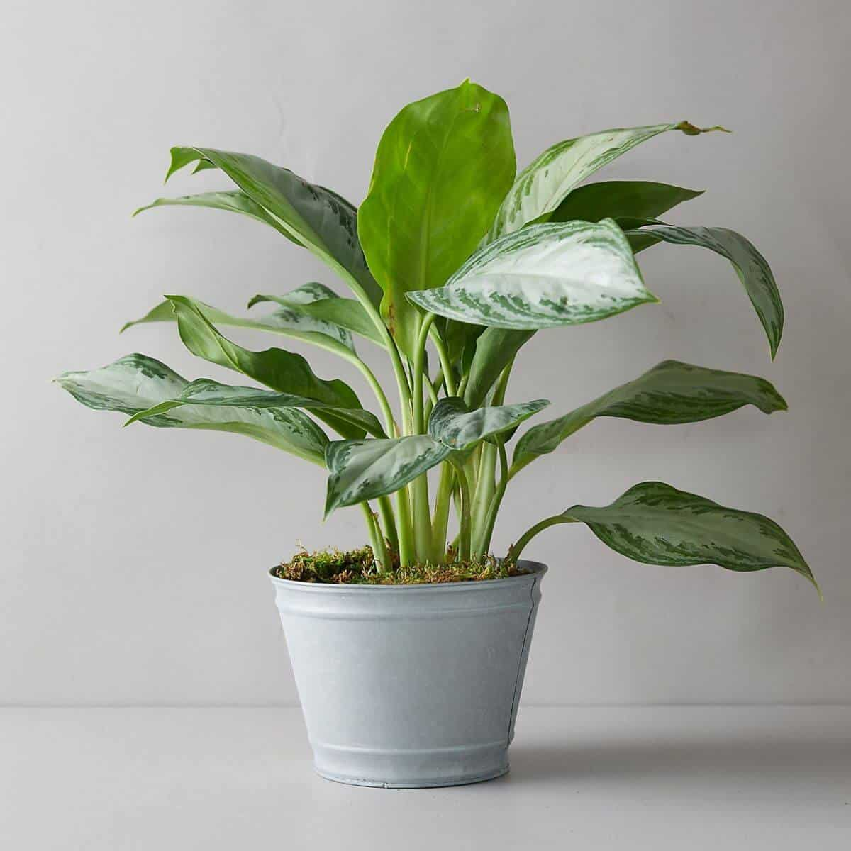 Chinese evergreen plant in a metal pot.