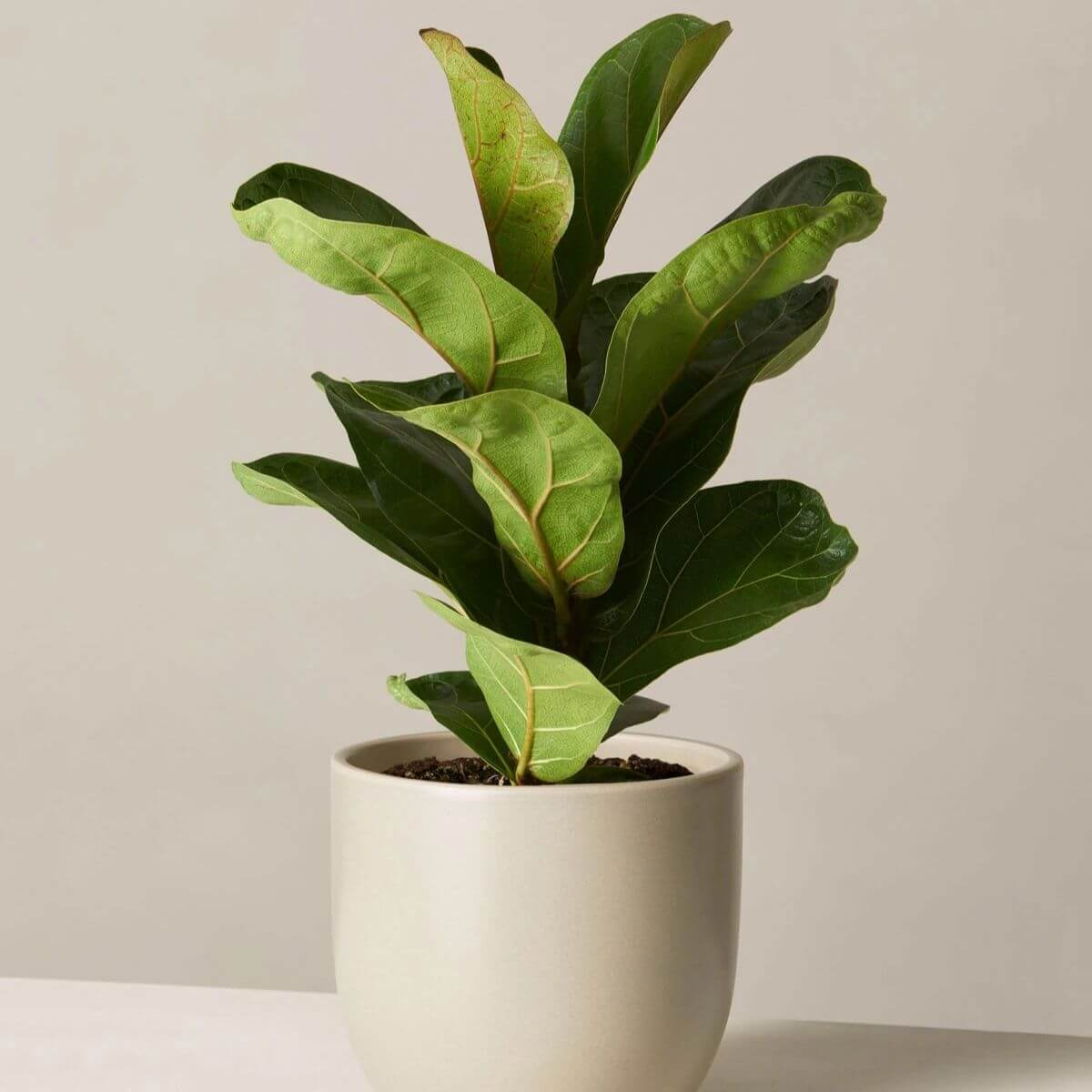 Fiddle leaf fig in a grey pot.