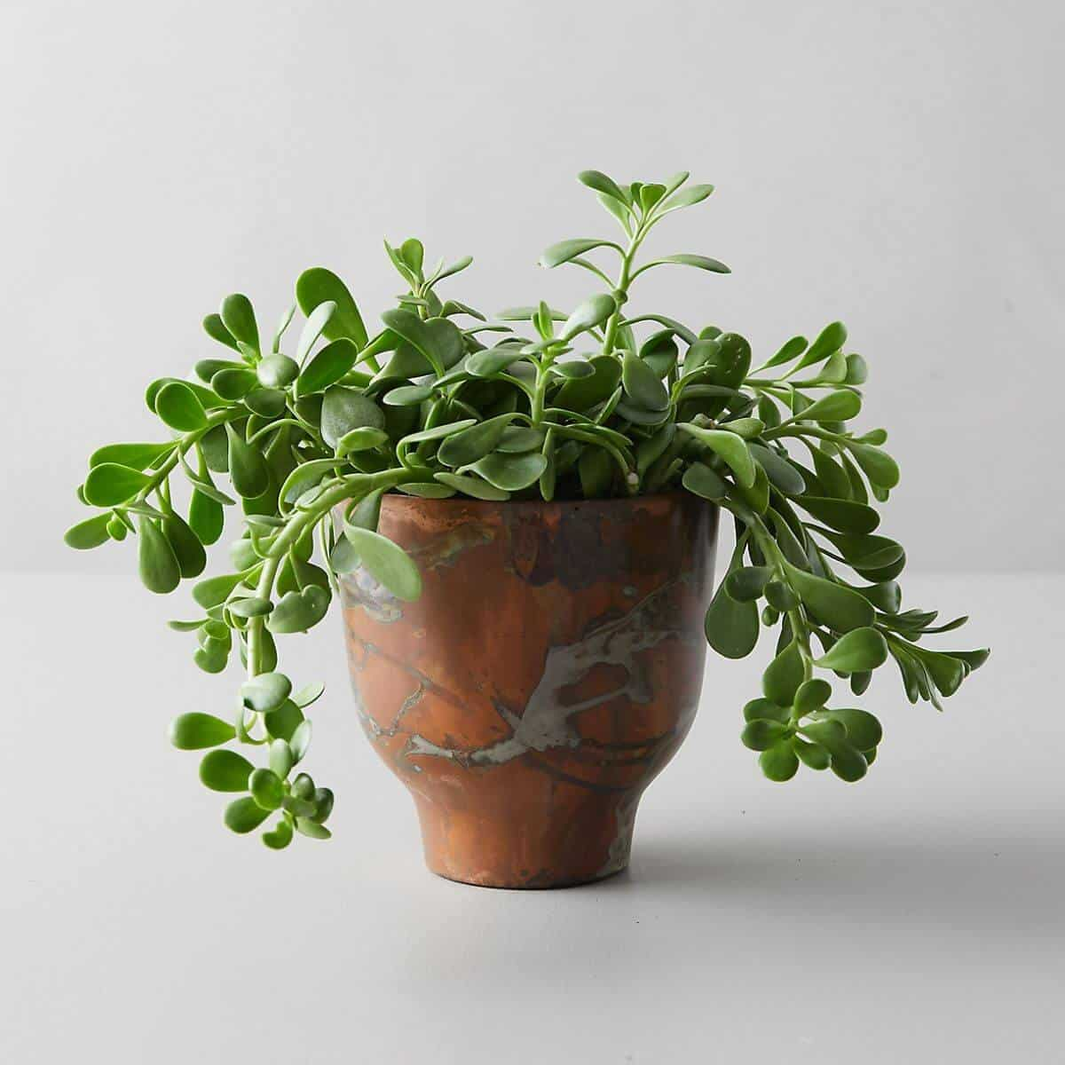 Jade plant in a copper pot.