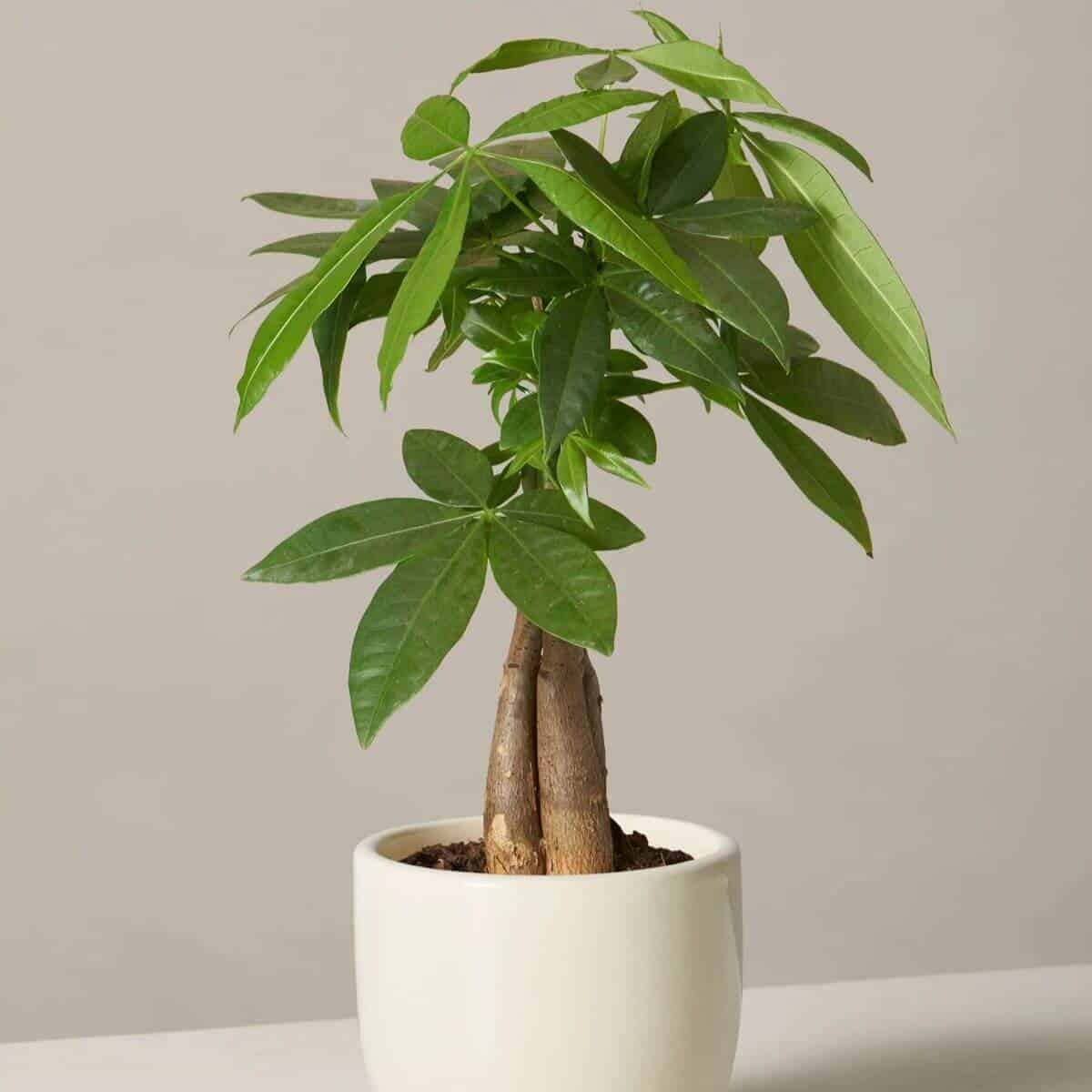 Money plant tree in a cream pot.