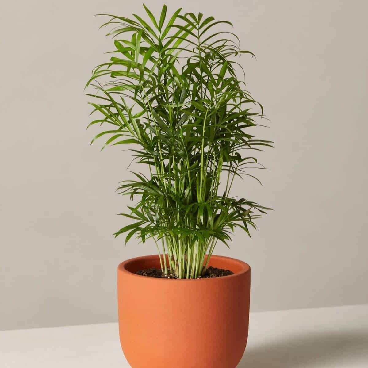Parlor palm in a terracotta pot.