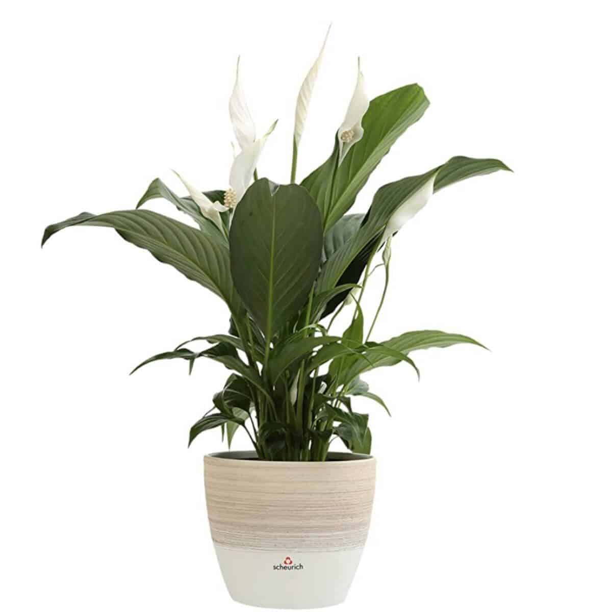 Peace lily in a ceramic pot.
