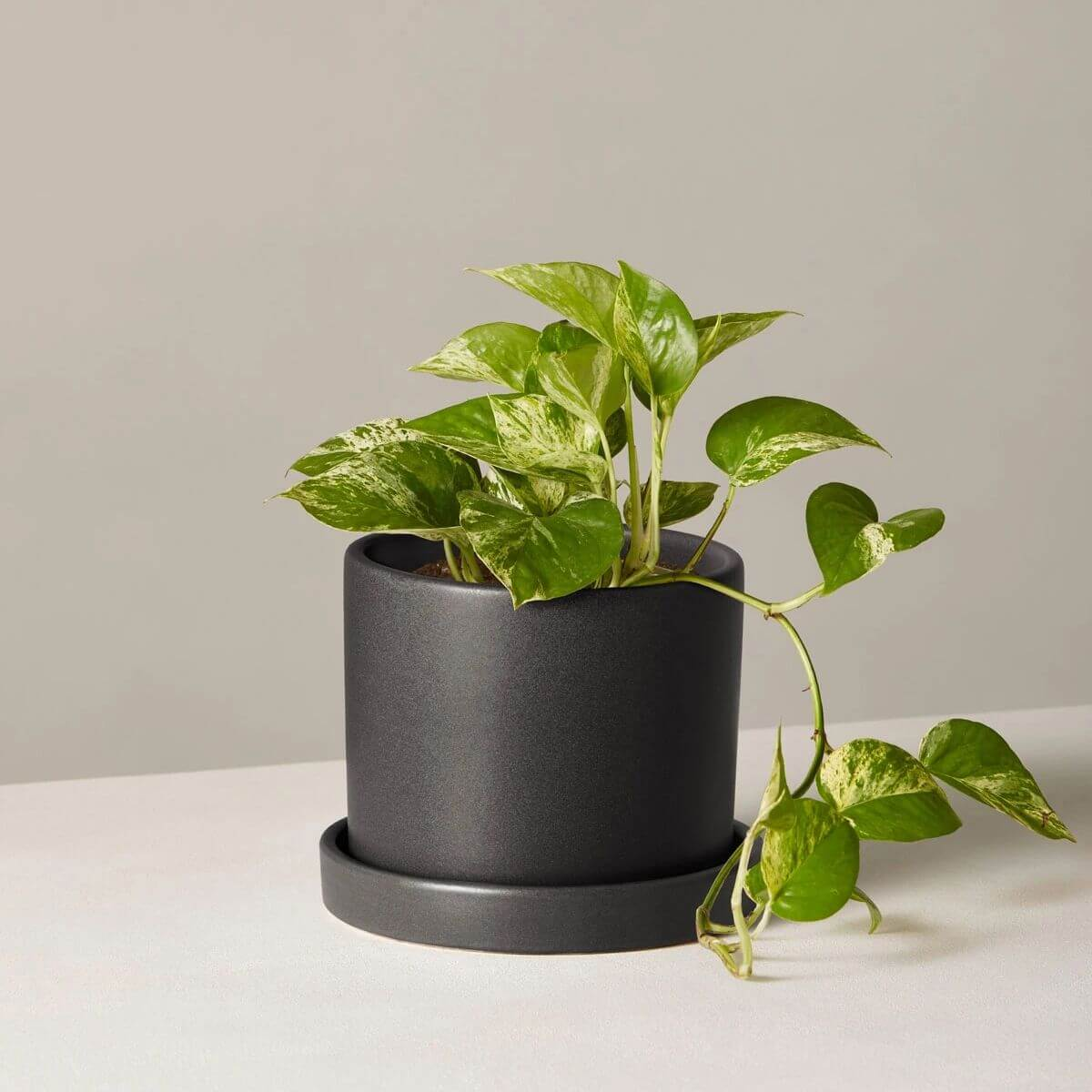 Pothos plant in a black pot.