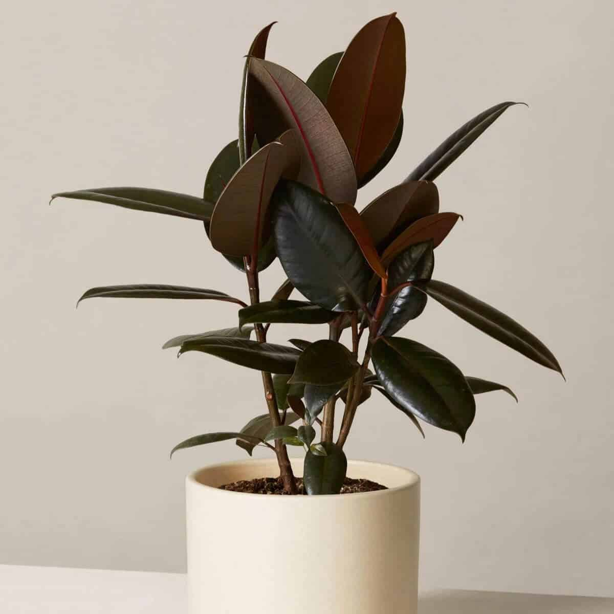 Rubber tree plant in a beige pot.