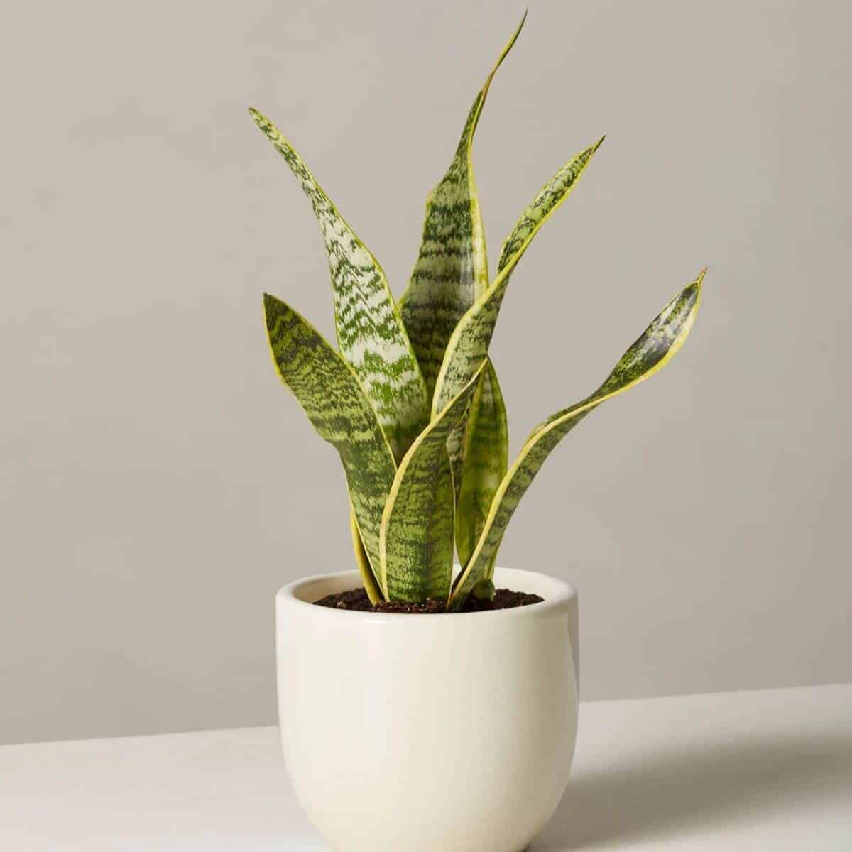 Snake plant in a cream pot.