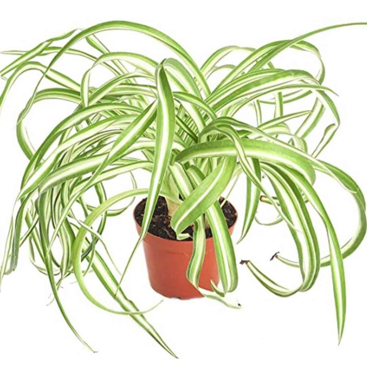 Spider plant in a brown pot.