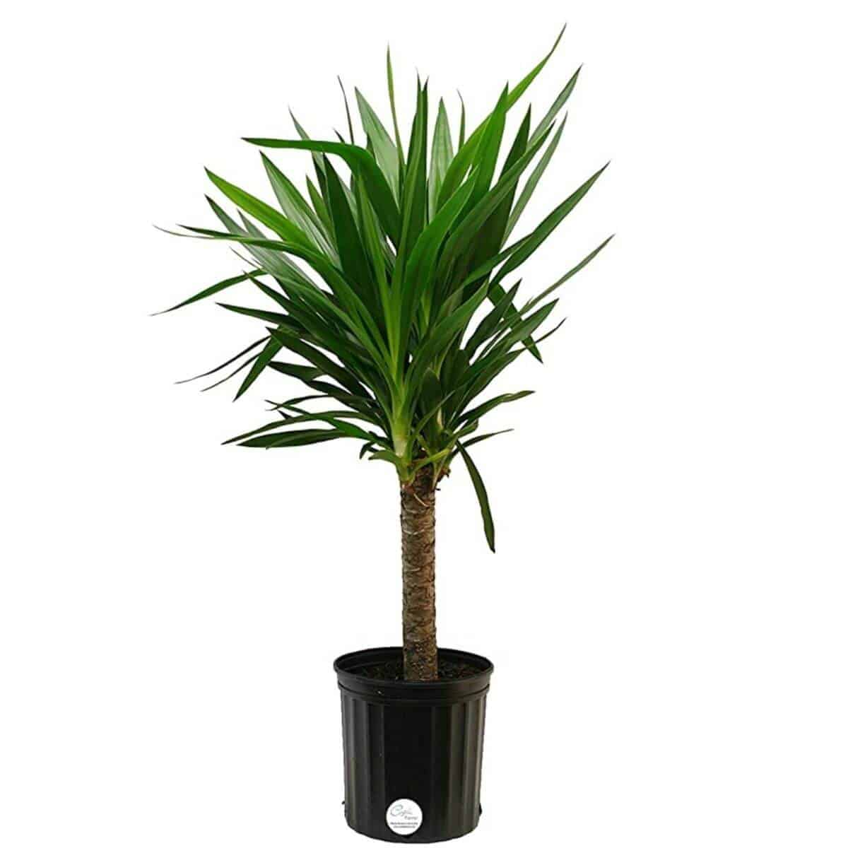 Yucca plant in a black planter.