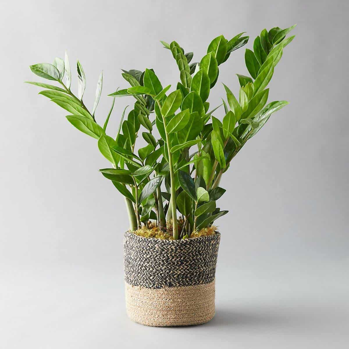 ZZ plant in a woven holder.